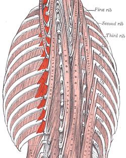 Levatorus costarum