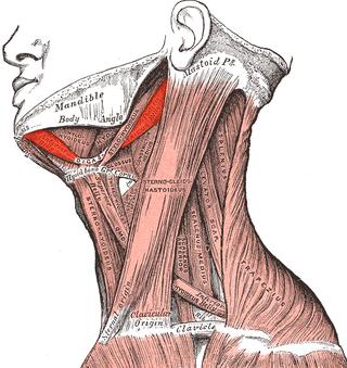 Digastricus