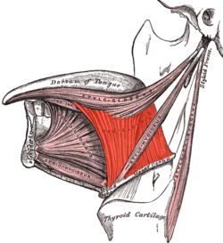 Hyoglossus